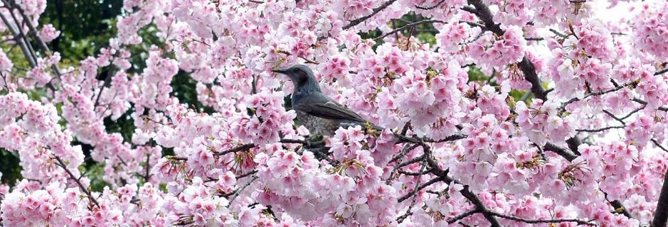 cherrybird23